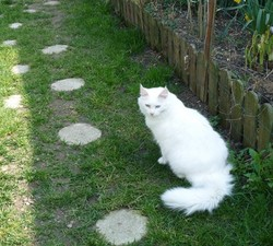 Polaris, chat Angora turc