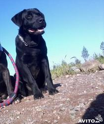 Poldi, chien Labrador Retriever