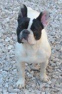 Pollux, chien Bouledogue français
