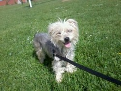 Pollux, chien Yorkshire Terrier