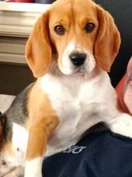 Polly, chien Beagle