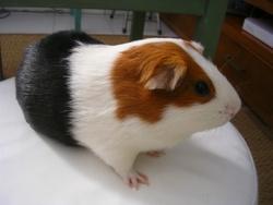 Polo, rongeur Cochon d'Inde