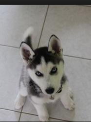 Polo, chien Husky sibérien