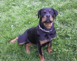 Polo, chien Rottweiler