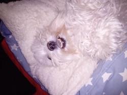 Polo, chien Bichon maltais
