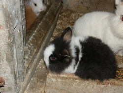 Polochon, rongeur Lapin