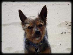 Pom, chien Yorkshire Terrier