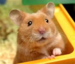 Pomette, rongeur Hamster