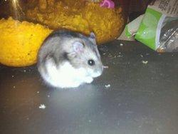 Pomme, rongeur Hamster