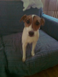 Pomme, chien Jack Russell Terrier