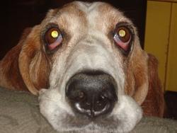 Pomme, chien Basset Hound