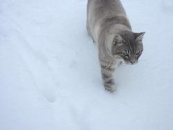 Pompom, chat Siamois