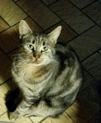 Pompom, chat Européen