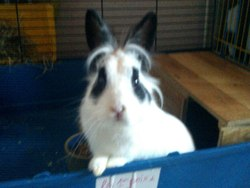 Pompom, rongeur Lapin