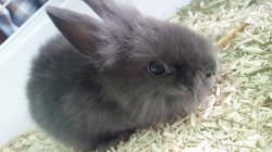 Pompome, rongeur Lapin