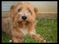 Pompon, chien Yorkshire Terrier