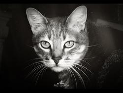Pompon, chat Gouttière