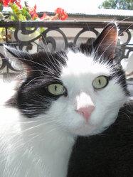 Pompon, chat Norvégien