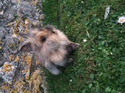 Pompon, rongeur Lapin