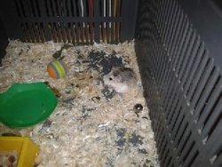 Pompon Au Paradis, rongeur Hamster
