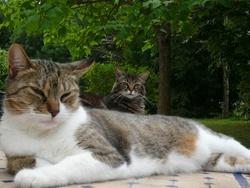 Pomponette, chat