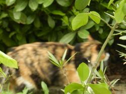 Pomponette, chat Européen