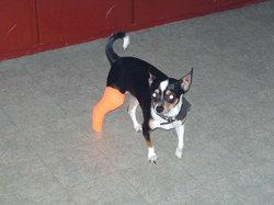 Poncho, chien Chihuahua