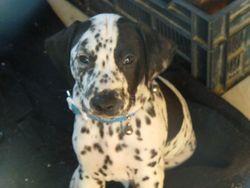 Pongo, chien Dalmatien