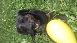 Pongo, chien Beauceron
