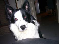 Pongot , chien Border Collie