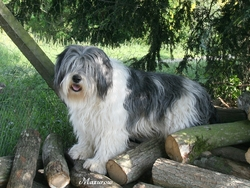 Ponka, chien Berger polonais de plaine