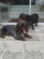 Ponna , chien Akita Inu