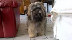Gimauve , chien Lhassa Apso