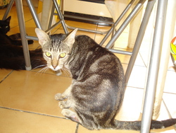 Ponpon, chat Chausie