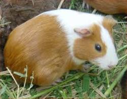 Ponpon, rongeur Cochon d'Inde