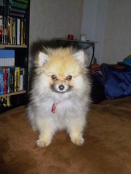 Pookie, chien Spitz allemand