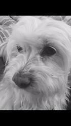 Pookie, chien Bichon maltais