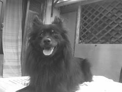 Pooky, chien Spitz allemand