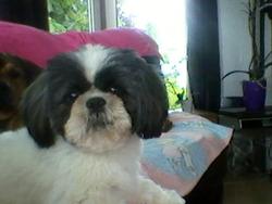 Pooky, chien Shih Tzu