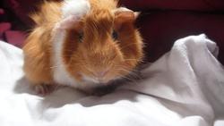 Pooky Au Pardis, rongeur Cochon d'Inde
