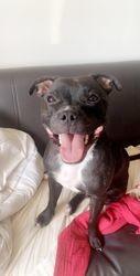 Poolko, chien Staffordshire Bull Terrier