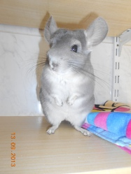 Poopsy, rongeur Chinchilla