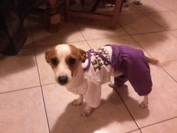 Poopy, chien Jack Russell Terrier