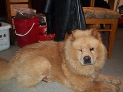 Pootchy , chien Chow-Chow