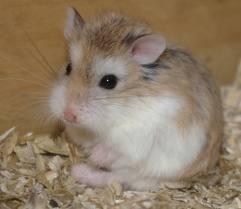Pop, rongeur Hamster