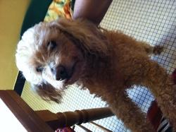 Popei, chien Caniche