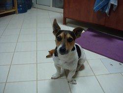 Popeye, chien Jack Russell Terrier