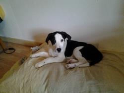 Popeye, chien Dalmatien