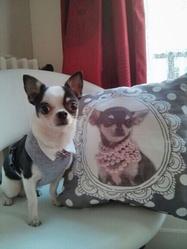 Popeye, chien Chihuahua
