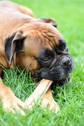 Popeye, chien Boxer